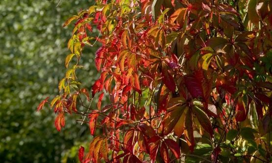 Produkter | Klatreplanter KLATREVILLVIN 'ENGELMANNII'  Parthenocissus quinquefolia Co 80-100 cm 'Engelmannii'  Hurtigvoksende. Selvklatrende. Murvegger o.l. Nøysom. Tåler skygge, men får finest høstfarger i sol. Ca høyde: 10 m. Pl avstand: 2-4 m. H-4