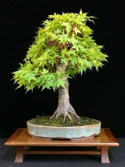 Acer bonsai tree // budget version