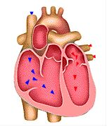 108 best human body unit study images on pinterest for Exterior of heart diagram
