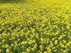 Mustard plant - Wikipedia, the free encyclopedia