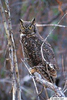 Great Horned Owl — Birds of North America Online