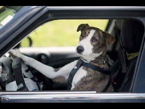 Дай порулить! Собака за рулем! Смешные видео про собак