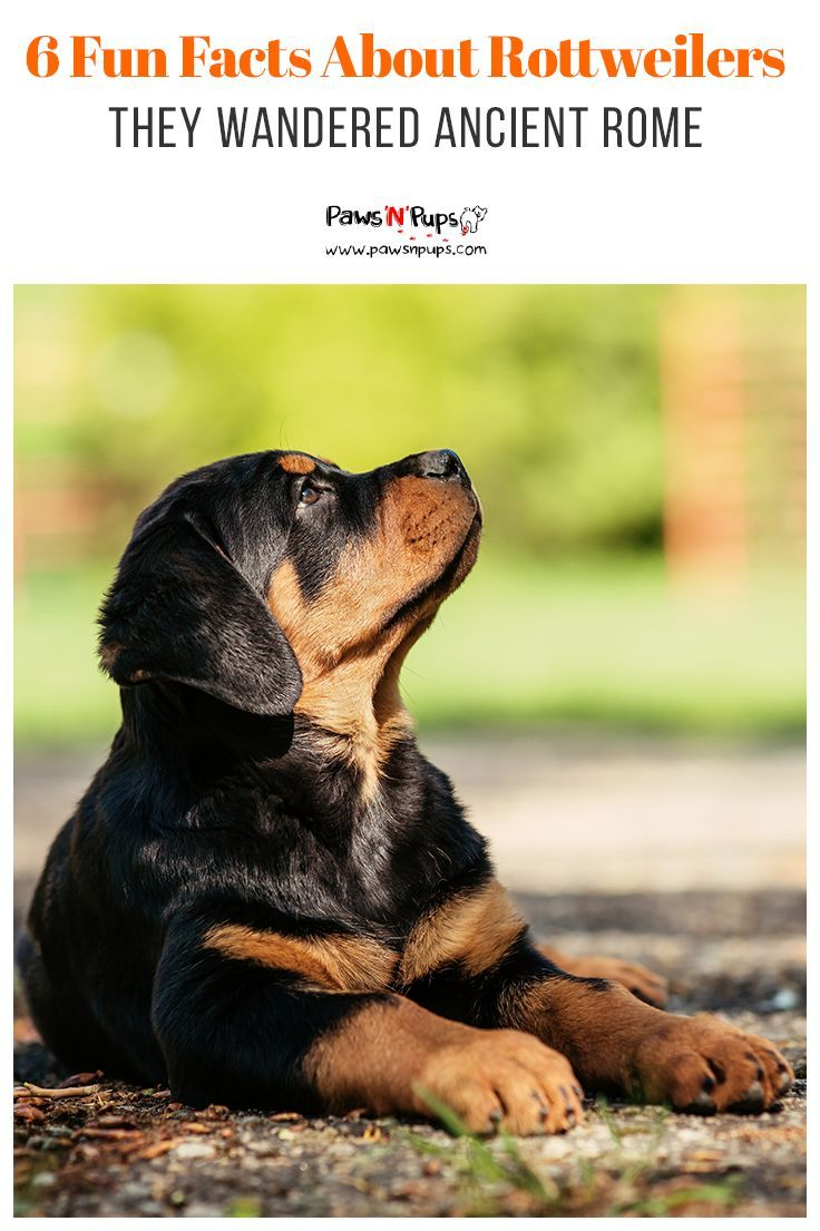 Rottweilers Are The 9th Most Popular Breed In The United States
