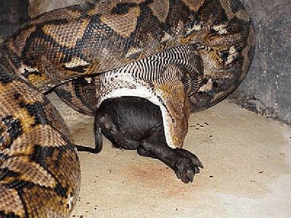Anaconda flagrada engolindo um animal