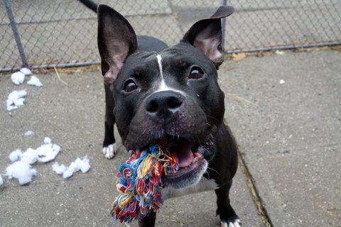 MARNI aka MIAMI - A1099736 - - Manhattan  Please Share:TO BE DESTROYED  01/04/17  A volunteer writes: Up front in her kennel, tail wagging and a smile lighting up her face, Marni was hoping for a walk and got one! Easily leashed she hops out of her kennel making a beeline for the door and then going potty the moment we were outside. Whew! She pulls hard on the leash so will benefit from a harness and/or some leash training, shows off her sit for some treats and makes soft e
