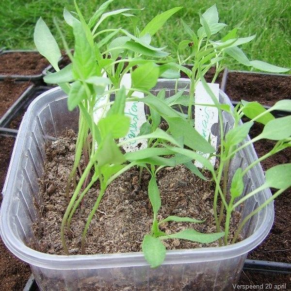 Mini-paprika's telen lukt even goed in de kas als in open lucht!