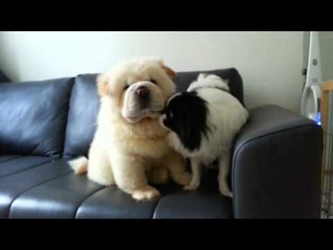 Cute chow chow and japanese chin puppies - YouTube