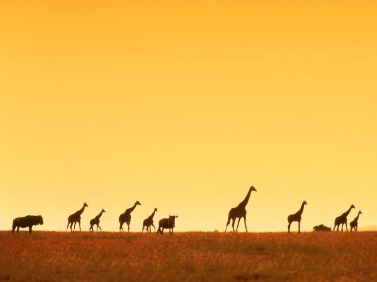 Free Giraffe Mac Wallpapers, iMac Wallpapers, Retina MacBook Pro 1600×1000 Giraffe Images Wallpapers (41 Wallpapers) | Adorable Wallpapers