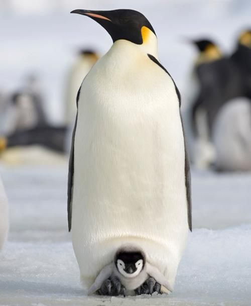 Cool dads: In nature, emperor penguin pops stay with and warm their eggs while the moms find food. These feathered fathers deserve all the props on Father's Day!
