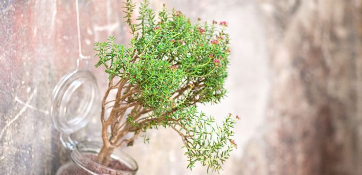 Coltivare l'Erba di giada. L'Erba di giada è una succulenta di grossa taglia: l'arbusto arrotondato cui dà origine può arrivare a 30 centimetri di altezza. Sempreverde, in estate assume una colorazione rosata.
