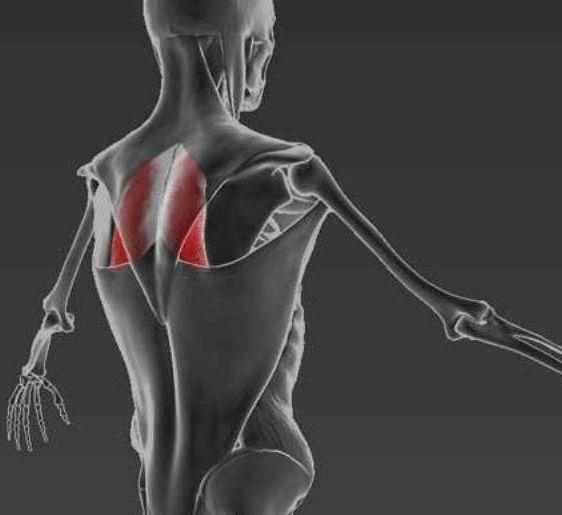Экология жизни. Здоровье: Одной из мышц, отвечающих за красивую осанку, является ромбовидная мышца. Это одна из самых главных мышц, которые стабилизируют лопатку сзади...