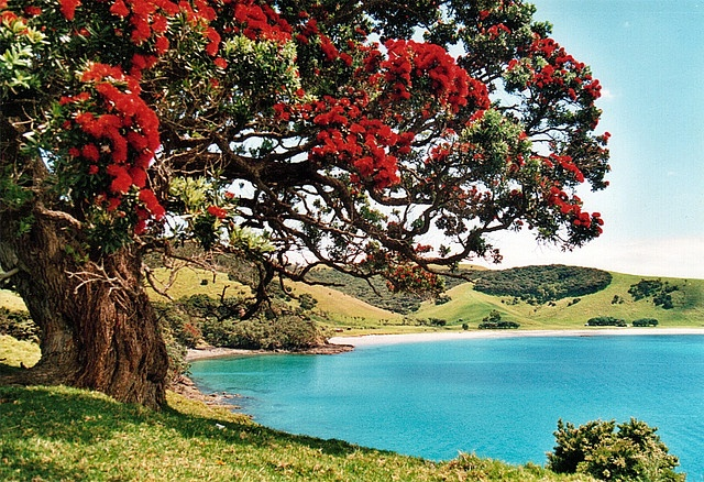 New Zealand, Northland, Bay of Islands, Potutukawa Tree