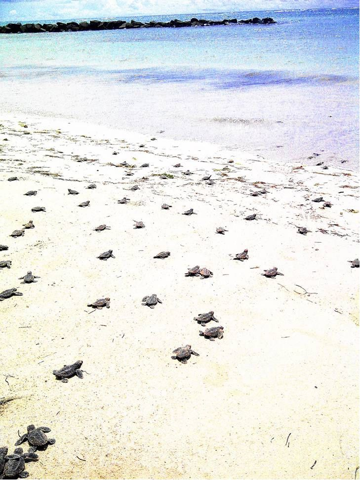 Some lovely news courtesy of Coconut Bay Beach Resort & Spa, St Lucia. During the morning of Monday 2nd September, 124 hawksbill turtle eggs hatched on the beach. All survived and have been released into the sea. Yippee!