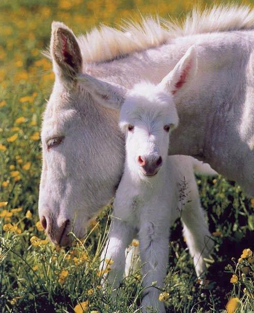 Cute little white mare and foal donkeys - burros.