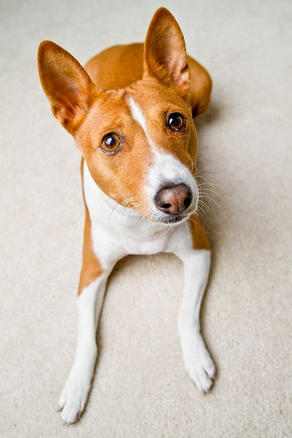 "The Basenji, sometimes called the ""barkless"" dog, originated in Africa and was known in ancient Egypt. Dogs of this breed are gentle and make loyal companions. My thanks go to the photographer who took this wonderful picture."