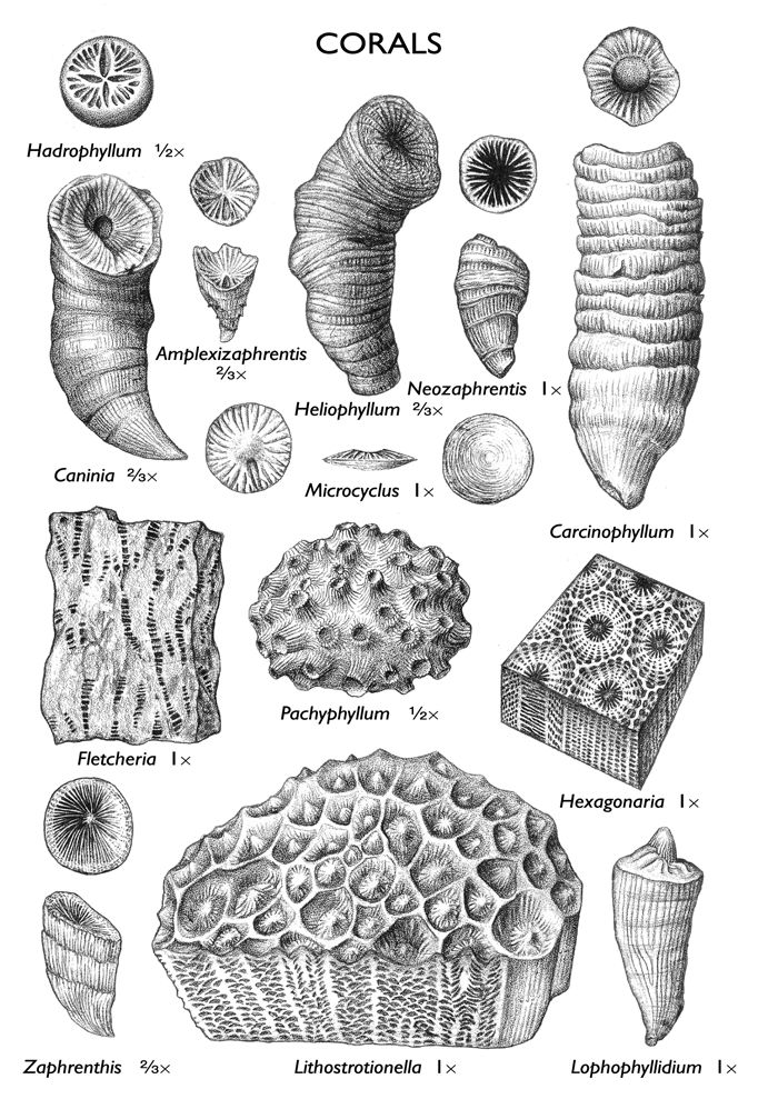 images of coral fossils