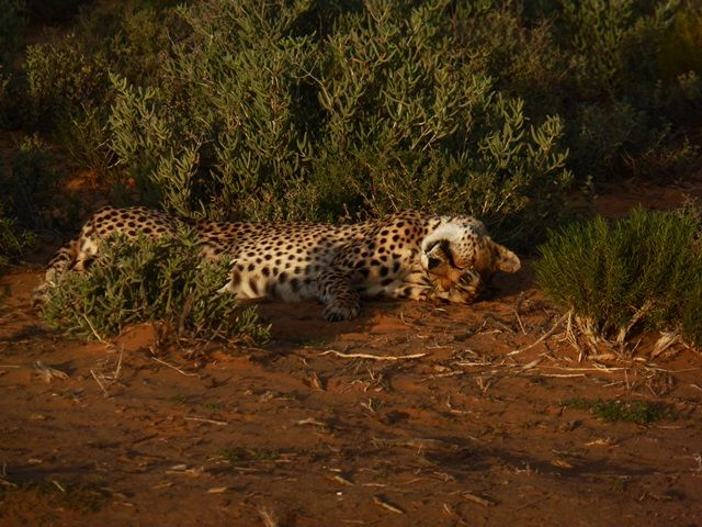 21 - 27 April 2014 Inverdoorn cheetah