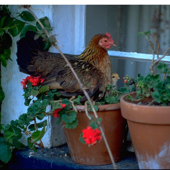 9 things I wish I'd known before keeping chickens | Ideal Home