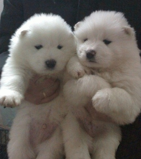 How to take care of new born Samoyed puppy