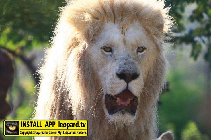 Beautiful photos of Jack and Jill, our beautiful white lions on Shayamanzi! #wildlife #leopardtv #lions