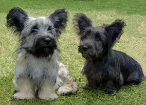 Skye Terrier pups. I would love one but they're a vulnerable breed so hard to find. One day maybe?