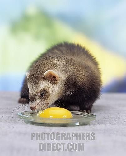 Healthy food tips for ferrets @azure47