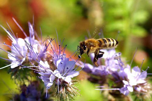 Zöldtrágyának is alkalmas a mézontófű kertünkbe!