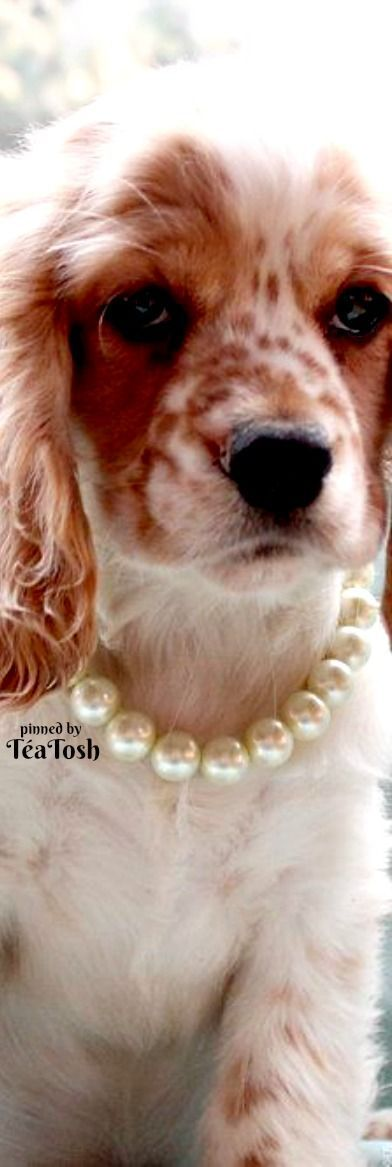 ❇Téa Tosh❇ Posh Pooch in Pearls