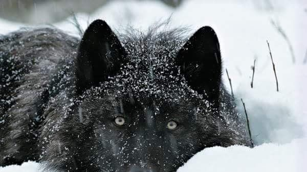 Urgent!! The Wolf hunt in Michigan may be on again even though the voters rejected it twice in 2014 and the courts upheld this vote.  Please sign this petition urging Gov. Rick Snyder to VETO SB 1187 which allows wolf hunting and trapping in MI. Additionally, this billtransfers authority to an...