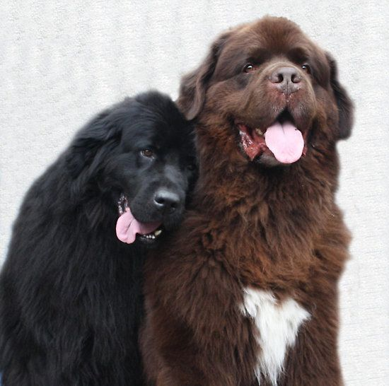 Two Newfoundland dogs in love by meganboundy
