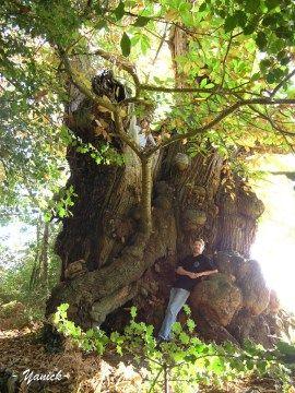 Châtaignier vénérable, Mouliherne (Maine-et-Loire) | Krapo arboricole