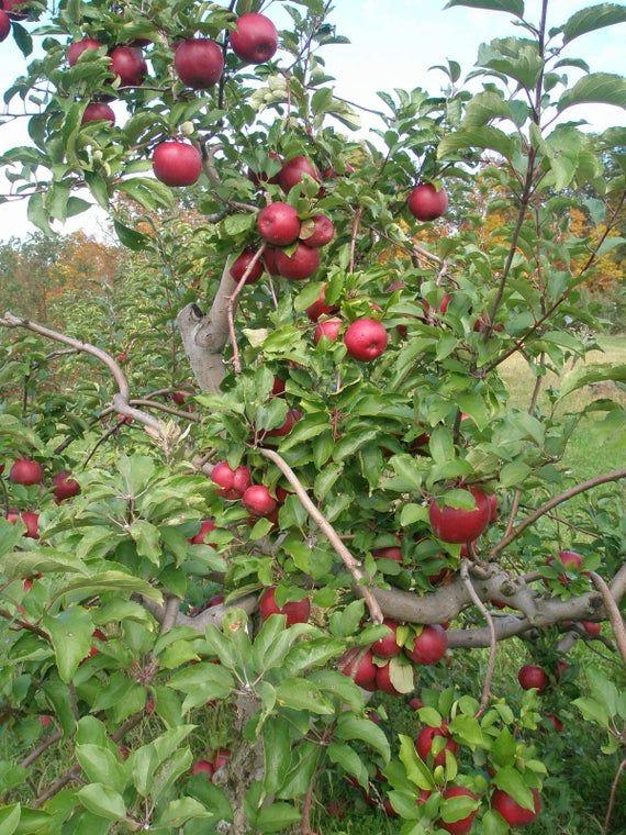 Red Rome Apple Tree 1 Gallon Potted Plant Self Pollinating Best Baking Apple Fresh Fruit Live H Apple Tree Pink Dogwood Tree Apple