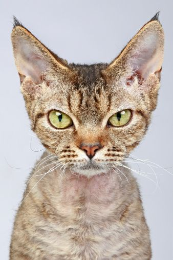 The Devon rex is a domestic cat of English origin. Devons have been compared to pixies, elves, and, of course, space aliens for their jumbo-sized satellite-dish ears, large, mischievous eyes, and ethereal appearance. - iStockphoto/Thinkstock