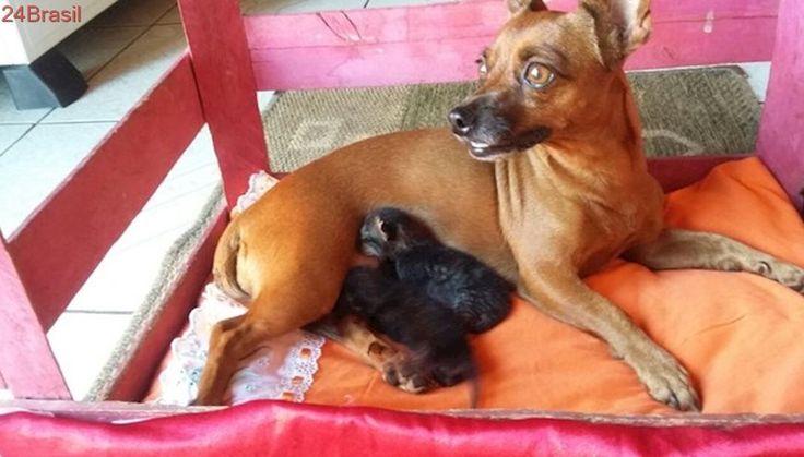 Cadela pinscher amamenta gatos abandonados no Tocantins