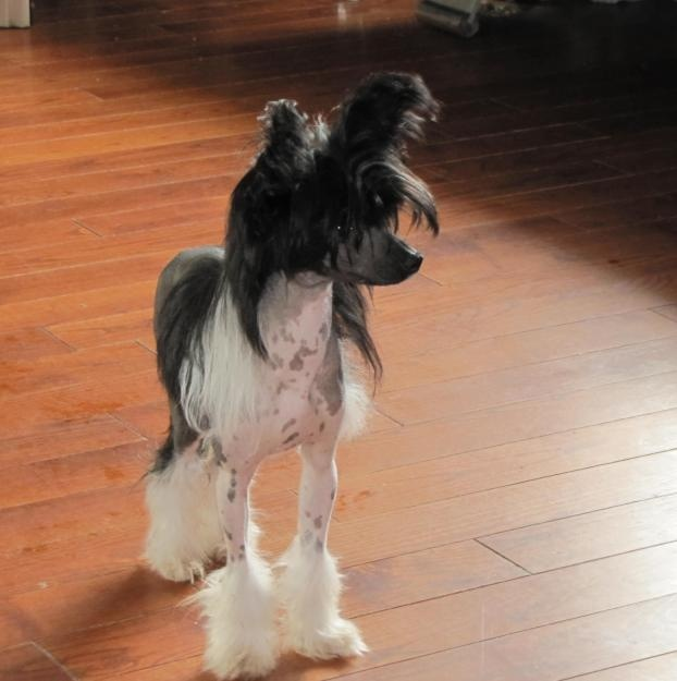 chinese crested - Bing Images