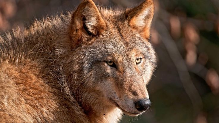 Red wolves are one of the most endangered species on the planet. These magnificent, shy predators once roamed from Pennsylvania to Florida, but now only about 50 remain in one corner of the North Carolina wilderness.    But these 50 wolves are actually a success story: in 1980, red wolves were declared...