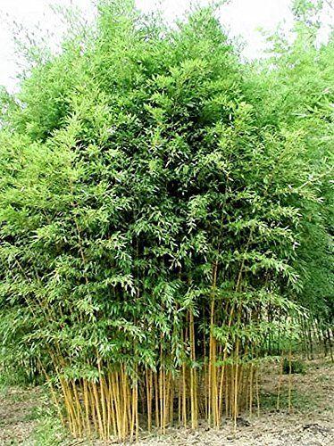 84 besten bambus bilder auf pinterest bambus pflanzen und landschaftsbau. Black Bedroom Furniture Sets. Home Design Ideas