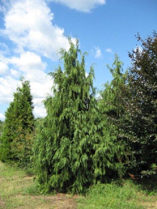 Chamaecyparis nootkatensis pendula weeping alaskan cedar for Small sized evergreen trees