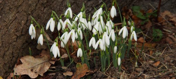 Here's the details of some reputable nurseries selling snowdrops in the green.