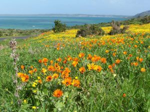 Whether you're a flora lover or not, it's hard not to be enthralled by the carpets of brightly-colored spring flowers in South Africa. Explosions of blooms roll over vast swaths of the Western and Northern Cape each spring after the long winter rains. Read more about #spring in #SouthAfrica on our website.