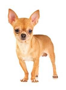 1000  images about Short Hair Chihuahua Dogs on Pinterest