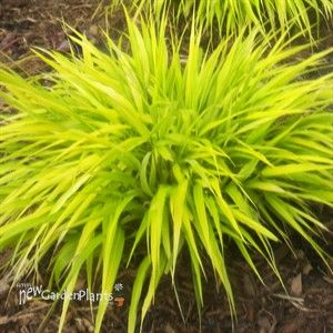 514 best ornamental grass images on pinterest ornamental for Ornamental grass plants for shade