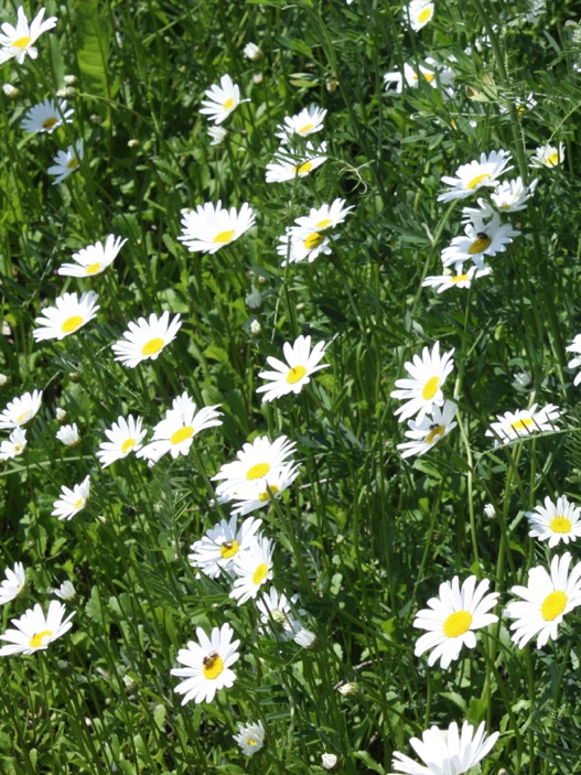 Ox Eyed Daisys Are Particularly Harmful In Pastures. If Consumed By Cows  Their Milk