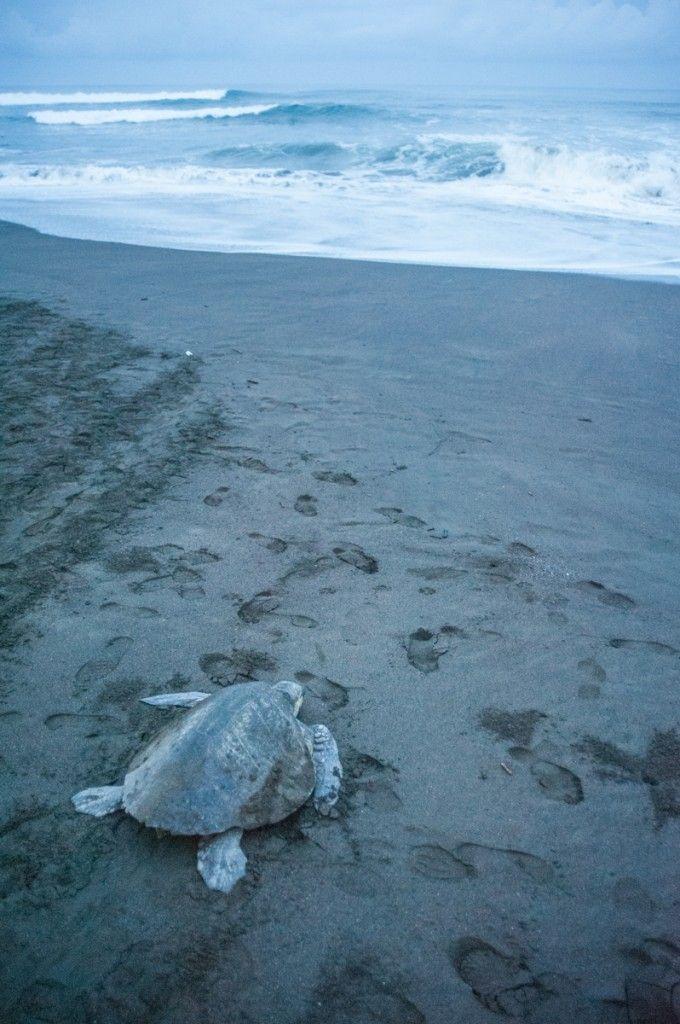 Que voir au Costa Rica. Que faire de sympa par région (Detour Local) -> L'arrivée massive des tortues à Ostonial www.detourlocal.com/que-voir-au-costa-rica-itineraire-region/