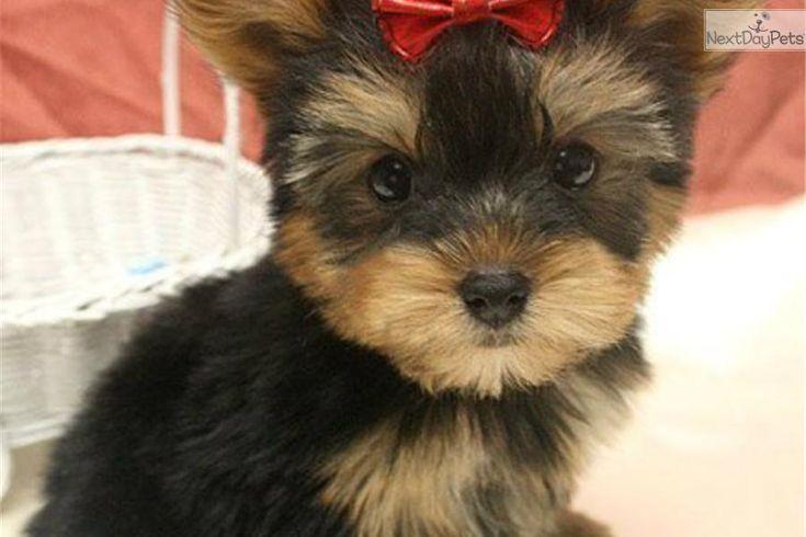 Baby Yorkshire Terrier | Female Baby Yorkie | Black, Brown Female Yorkshire Terrier Puppy For ...