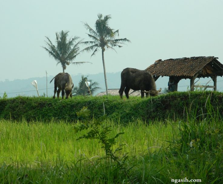 petani, kerbau, pemandangan, gubuk sawah