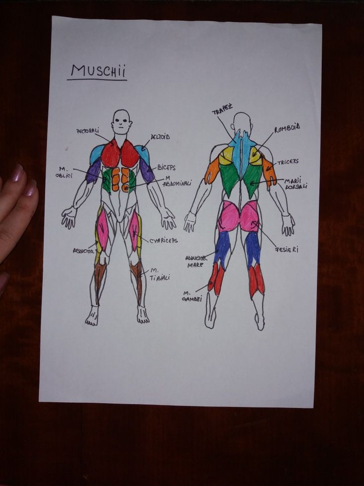 #biology #anatomy #muscular #system