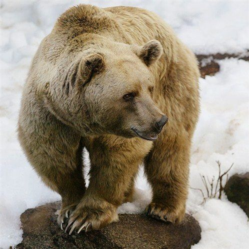 Grizzly Bear Kingdom on Pinterest | Grizzly bears, The grizzly and