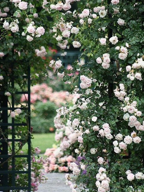 The Peggy Rockefeller Rose Garden by donsutherland1, via Flickr