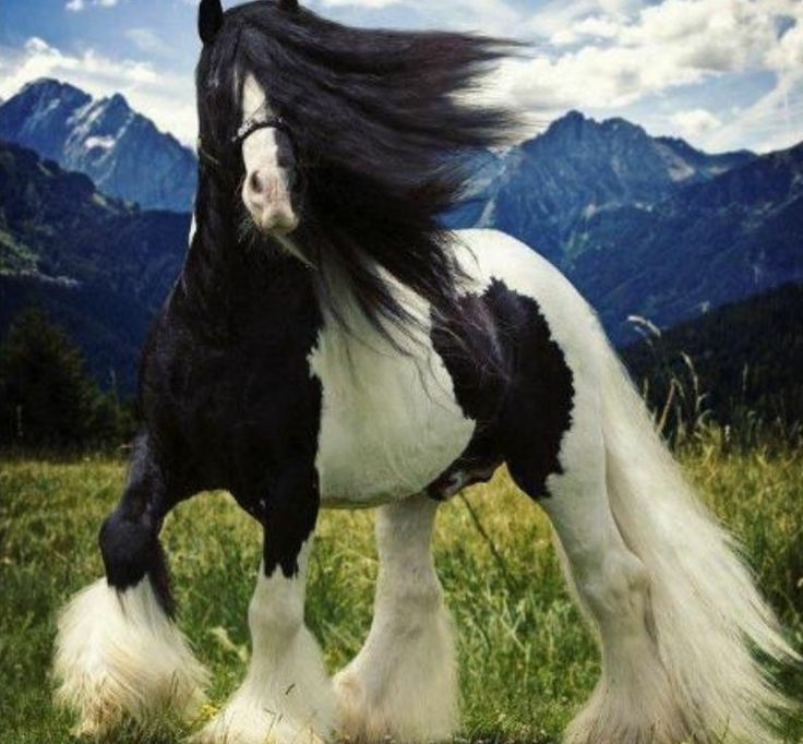 Beautiful black & white horse | Clydesdale horses ...